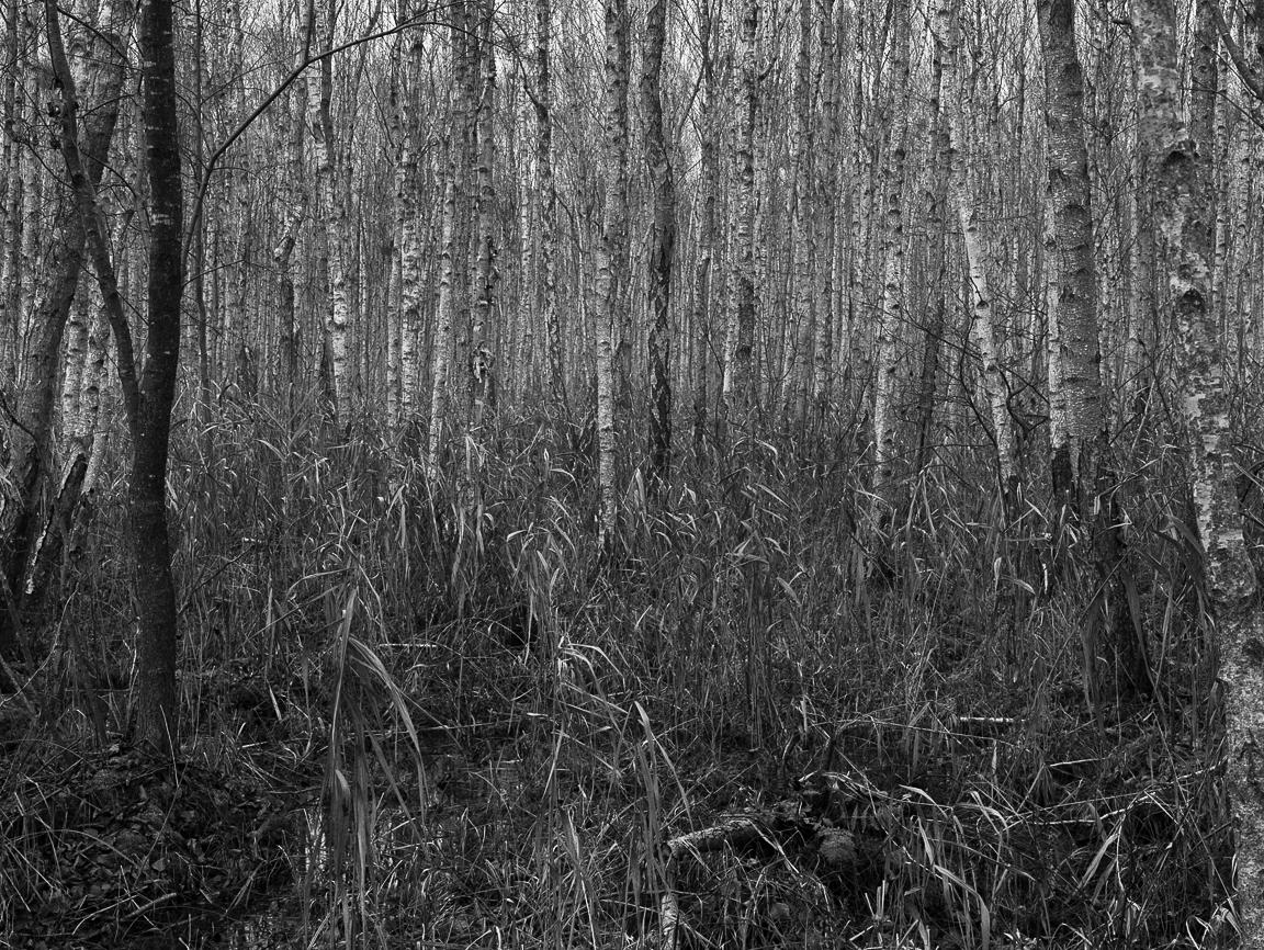 Brzoza w moich fotografiach, Krajobraz, Linhof Super Technika V, Nikkor-W 180/f5.6, Ilford FP4+, Biebrzański Park Narodowy, Bierbza National Park, jesień, trzciny, bagno