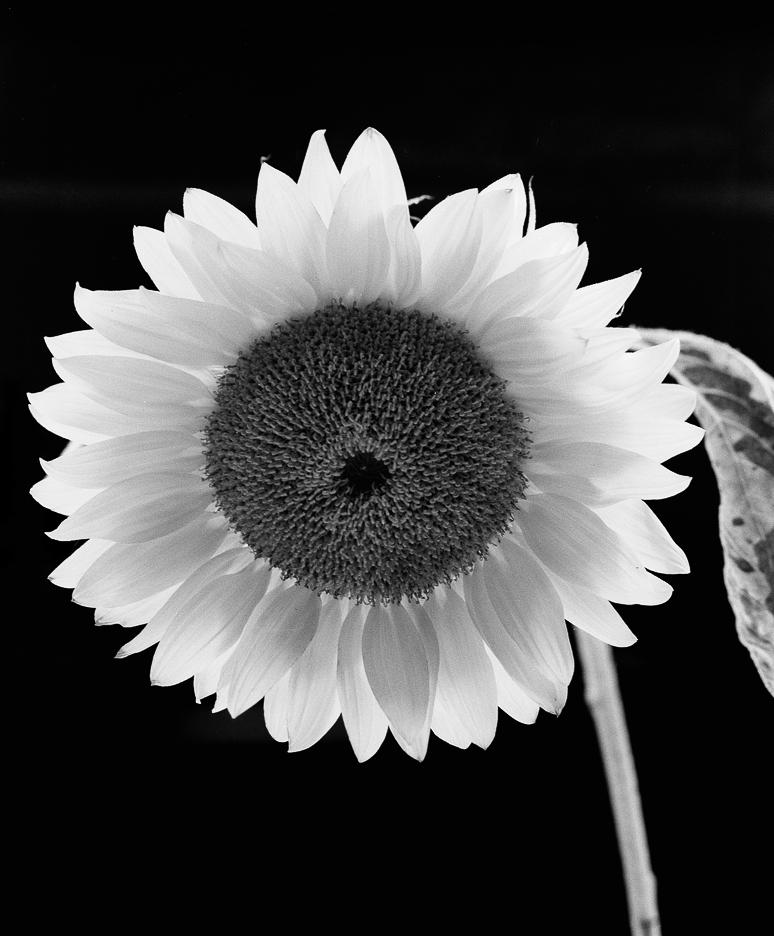 Fotografia jest prosta! Słonecznik, sunflower, tribute to Paul Caponigro