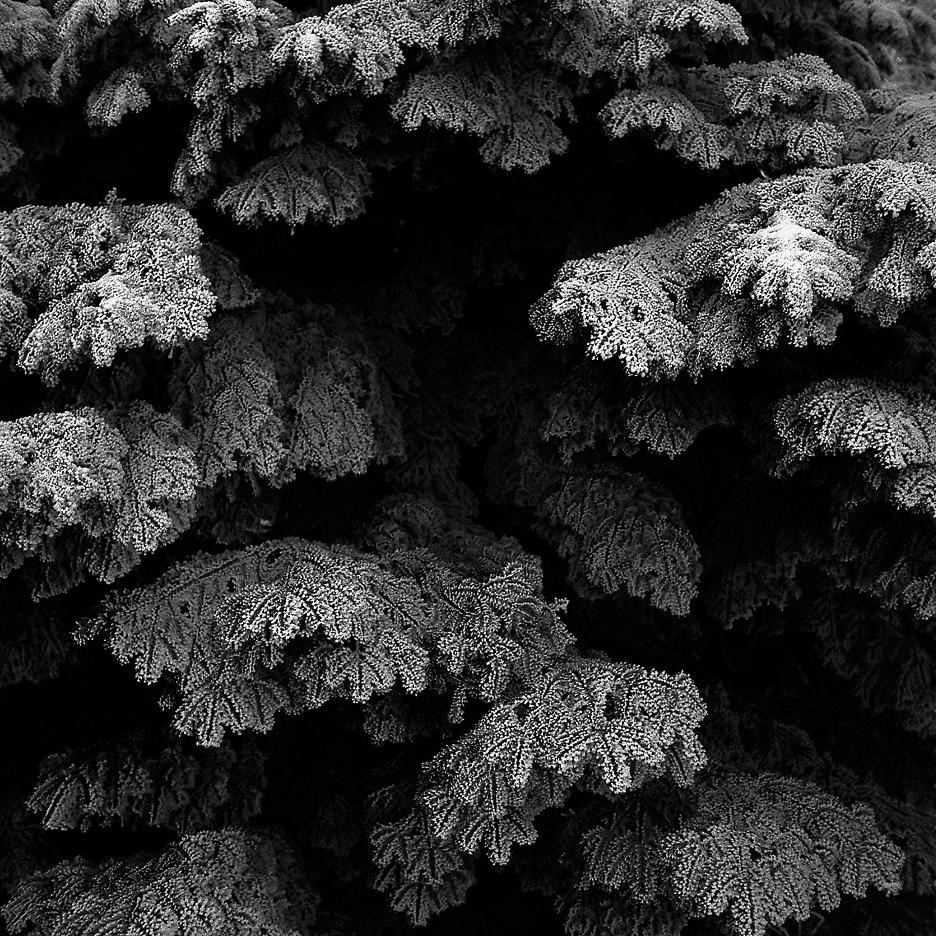 Wierchomla Wielka, 2006, śnieg, snow, szadź, jodła, przyroda, czarno-białe, fotografia artystyczna, fotografia tradycyjna, Krajobraz, Yashica Mat 124G, Ilford FP4+