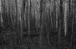 Rosochaty Róg, 2013, Ols jesienny. Wigierski Park Narodowy, jesień 2013, Linhof Super Technika V + Nikkor-W 180/f5.6 @ ILFORD FP4+, Rodinal 1+50, olcha, brzoza, brzezina, olszyna