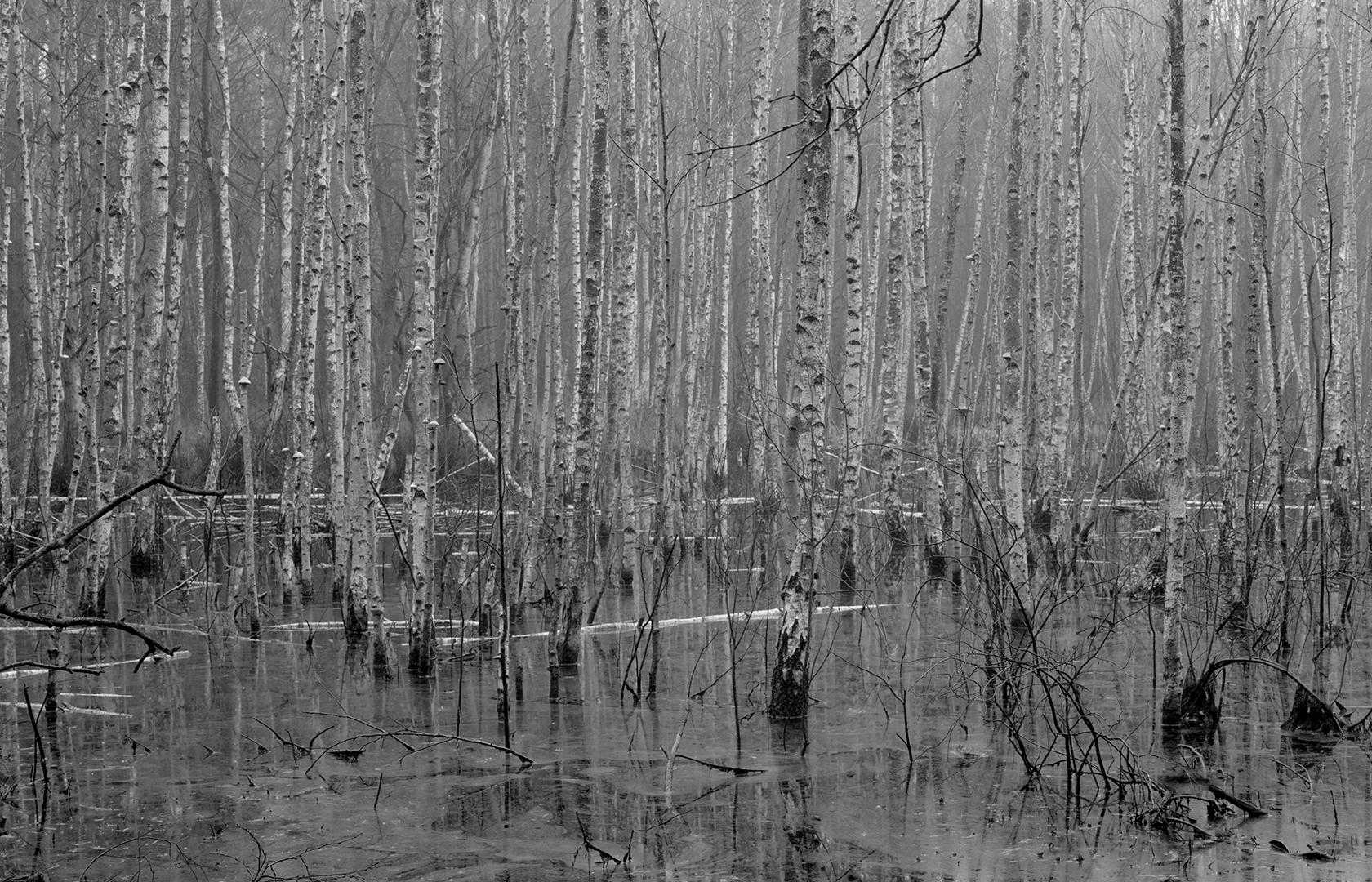 Brzoza w moich fotografiach, Czas szarości – Ols jesienny. Mazowiecki Park Krajobrazowy, jesień 2013, Linhof Super Technika V + Nikkor-W 180/f5.6 @ ILFORD FP4+, Rodinal 1+50, brzoza, brzezina