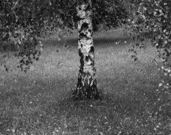 Brzoza, ogród, jesień, brzoza w moich fotografiach
